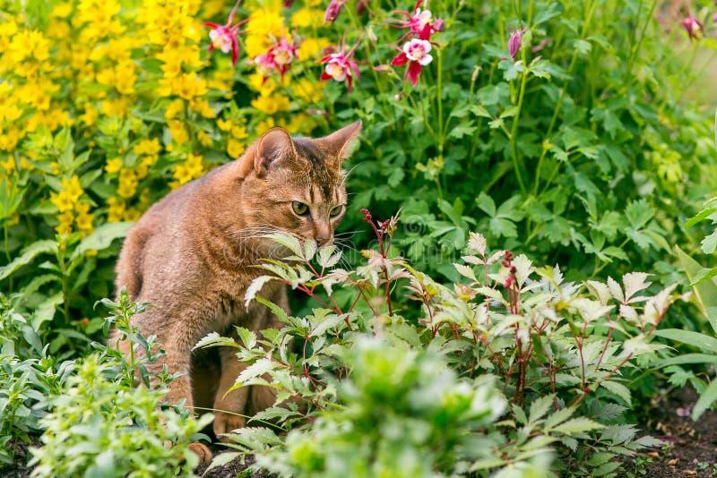 Abisyński kot w kwiatach obrazy stock