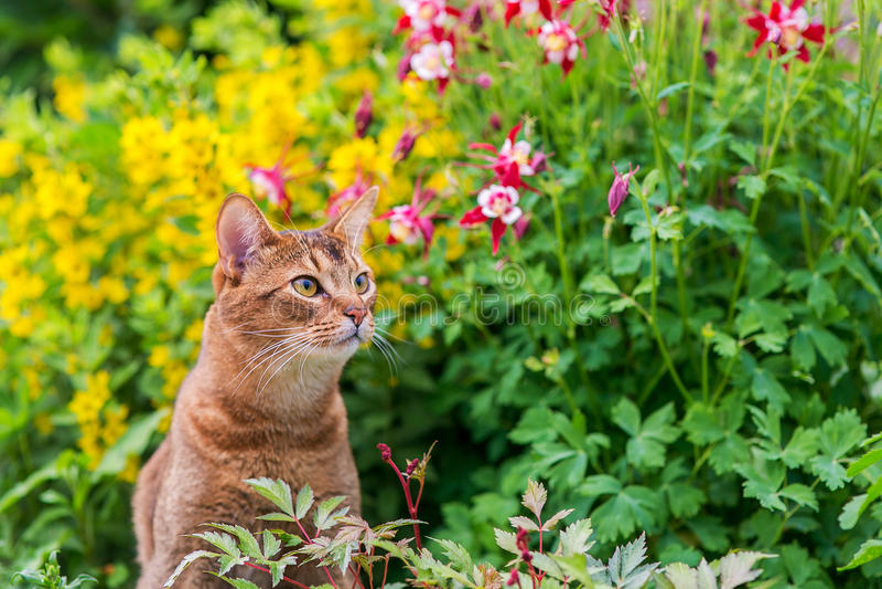 Abisyński kot w kwiatach fotografia royalty free