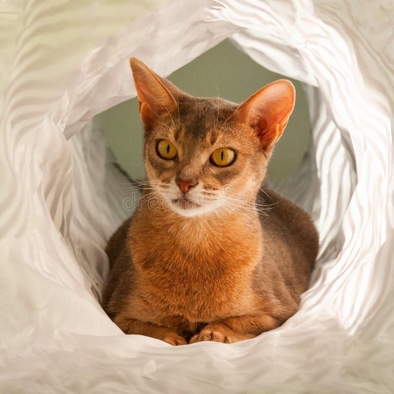 Abisy?ski kot Zamyka w górę portreta błękitny abyssinian żeński kot, siedzi na białym tle obraz royalty free