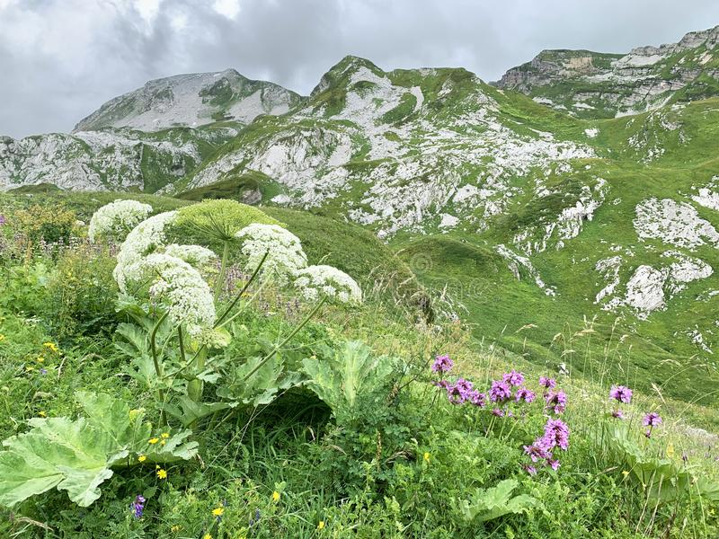 Abkhazia, plateau Arabika in cloudy weather in summer, Flowering of Heracleum and stachys.  royalty free stock images