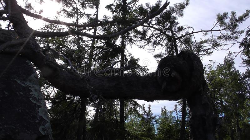 Vottovaara Karelia - ugly tree. Abnormal mountain in Karelia, ugly trees, mystical landscapes. There are more than one and a half thousand stone sades. The royalty free stock photo