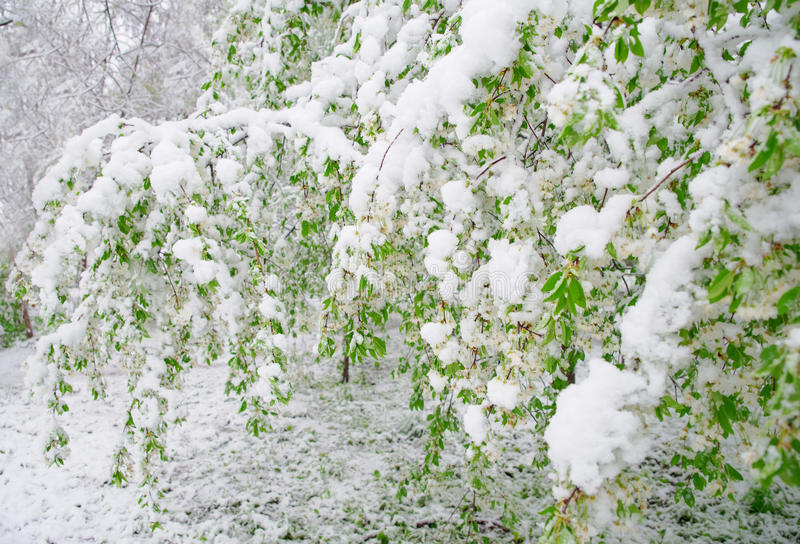 Abnormal natural phenomenon. Snow, frost, frost in late spring during the flowering of trees. The branch of a blossoming Cherry un. Der the snow, the death of royalty free stock photos