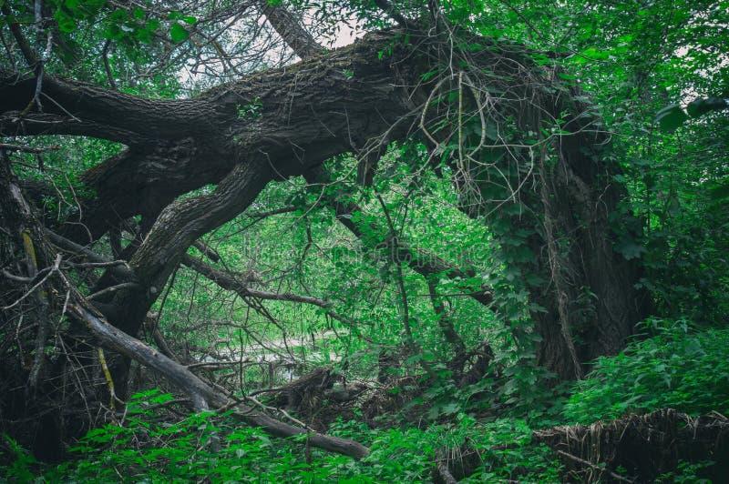 Abnormale angstaanjagende enge gevallen grote boom in een dicht bos in de vorm van een poort Ingangsdeur aan donker bosstruikgewa stock foto's