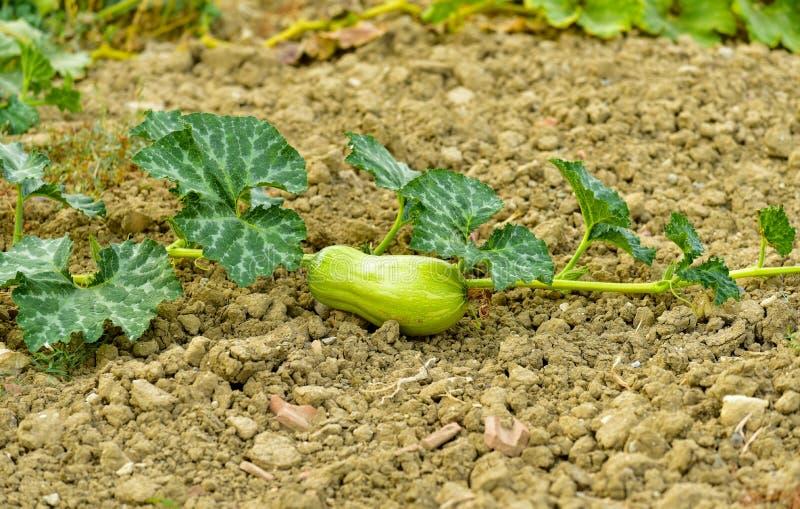 Abobrinha, jardim vegetal ecológico fotografia de stock royalty free