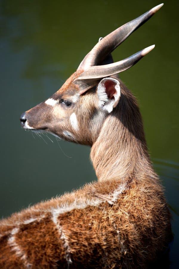 Abok水羚属megaceros/尼罗lechwe或者Gray夫人` s lechwe,动物园, Troja区,布拉格,捷克共和国 库存图片