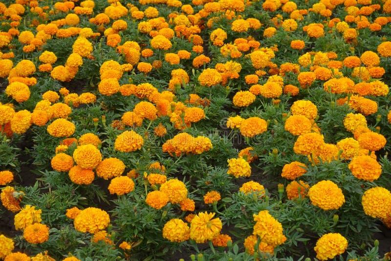 Abondance de contexte des fleurs oranges de l'erecta de Tagetes photos stock