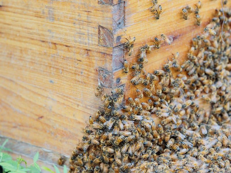 Abondance des abeilles à l'entrée de la ruche dans le rucher Fourmis, fin vers le haut de la vue des abeilles de travail Ruche et image stock