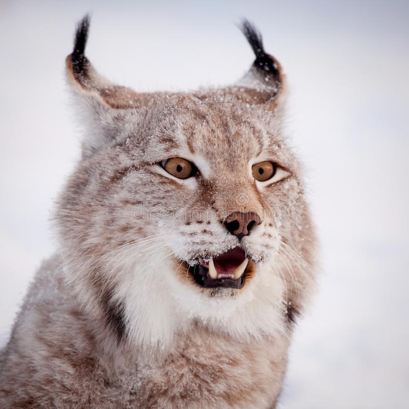 Abordable Eurasian Lynx, portrait in winter field royalty free stock images