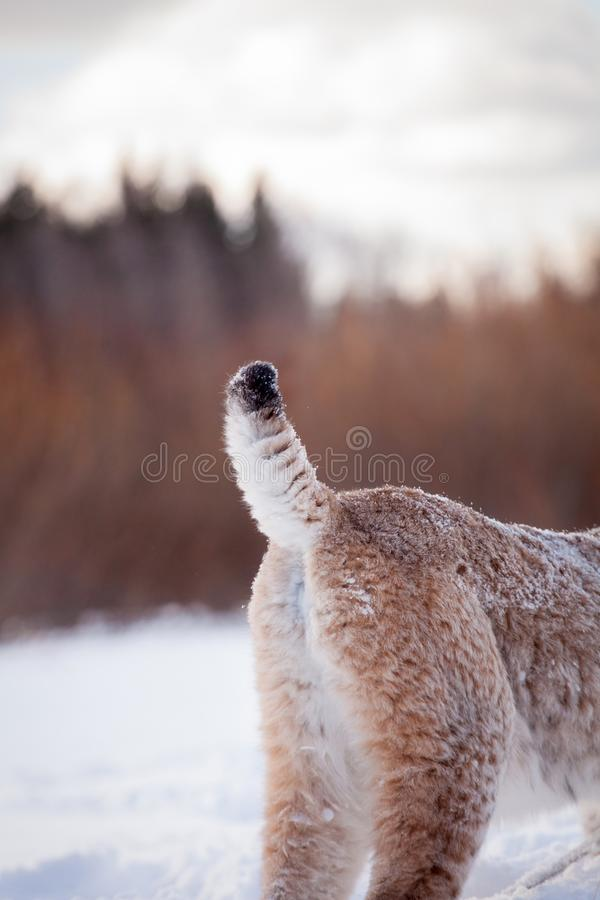 Abordable Eurasian Lynx, portrait in winter field royalty free stock photography
