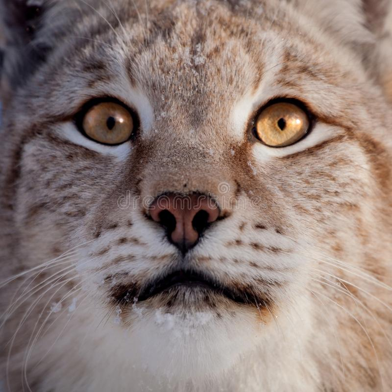 Abordable Eurasian Lynx, portrait in winter field stock image