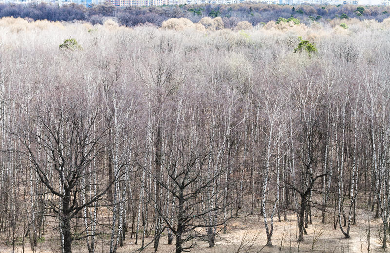 Above view of bare trees in spring forest royalty free stock photo