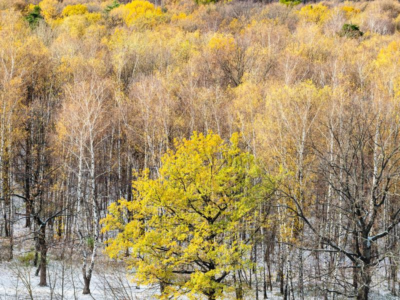 Yellow oak tree and first snow in autumn forest royalty free stock photo