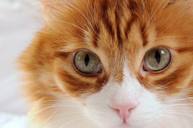 Abozale un primer rojo-dirigido mullido del gato imagen de archivo libre de regalías