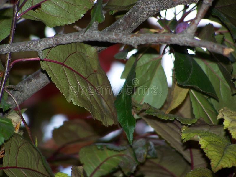 Abrégé sur feuille de l'arbre ornemental de Crabapple photo stock