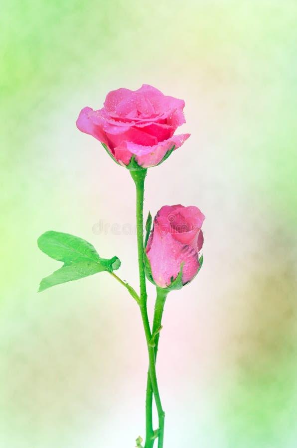 Abrégé sur fond de Rose (bon pour l'illustration, le papier peint et la conception décorative) photos libres de droits