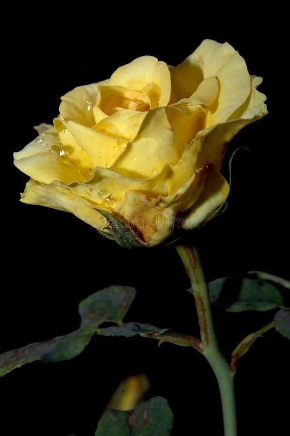 Abrégé sur fond de Rose (bon pour l'illustration, le papier peint et la conception décorative) photographie stock libre de droits