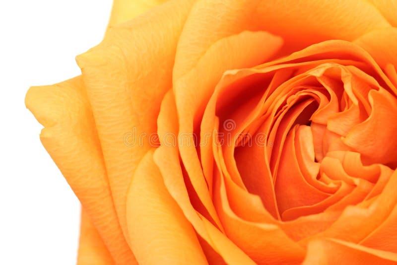 Abrégé sur Rose au-dessus de blanc image libre de droits