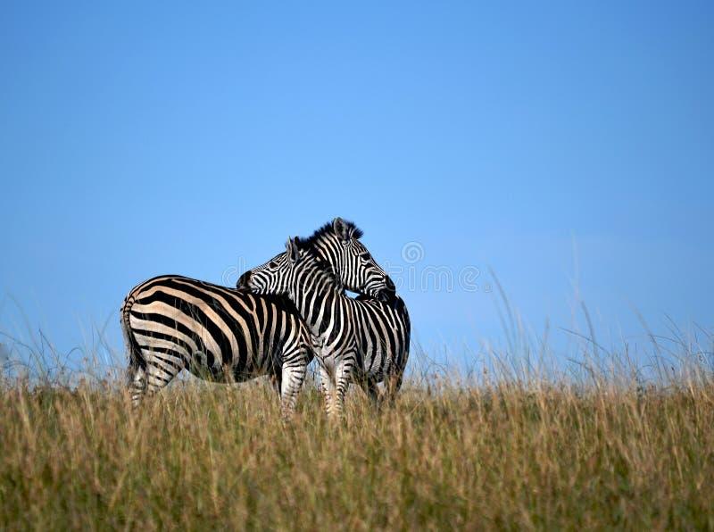 Abraço da zebra imagem de stock royalty free