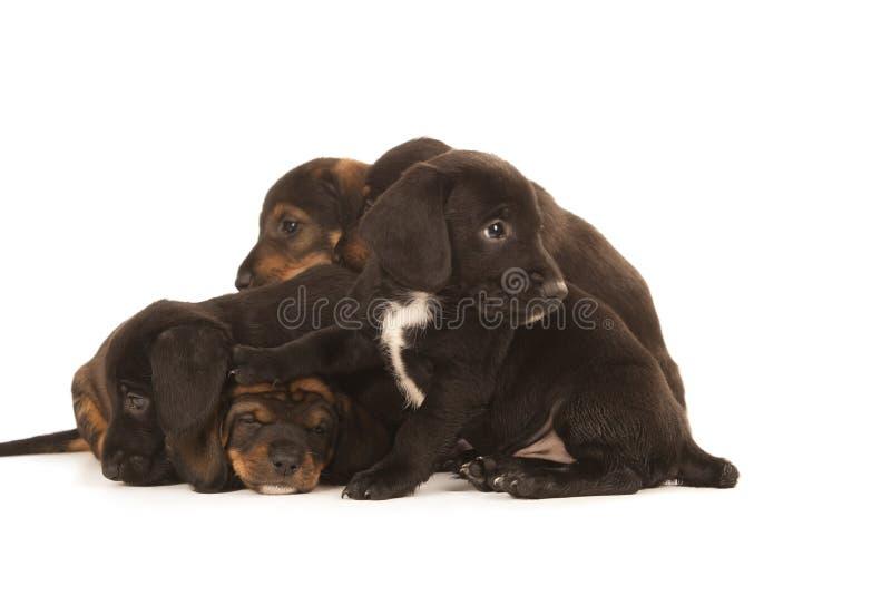 Abraço dos filhotes de cachorro do Dachshund imagem de stock royalty free