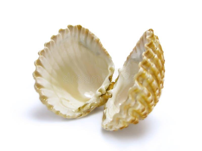 Abra el shell de concha de peregrino fotos de archivo libres de regalías