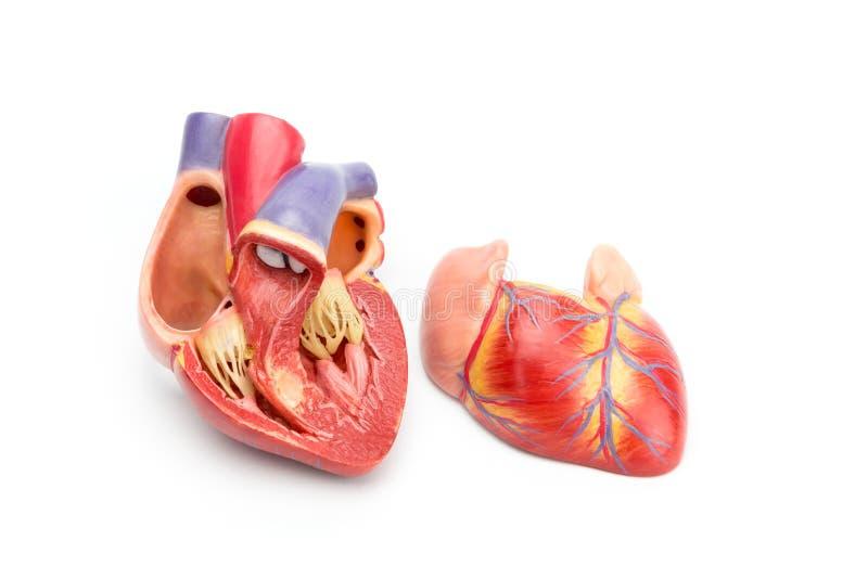 Abra o modelo do coração humano que mostra para dentro fotos de stock