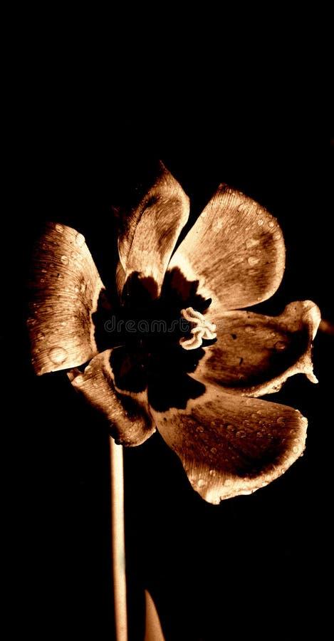 Abra o tulip na chuva fotografia de stock royalty free