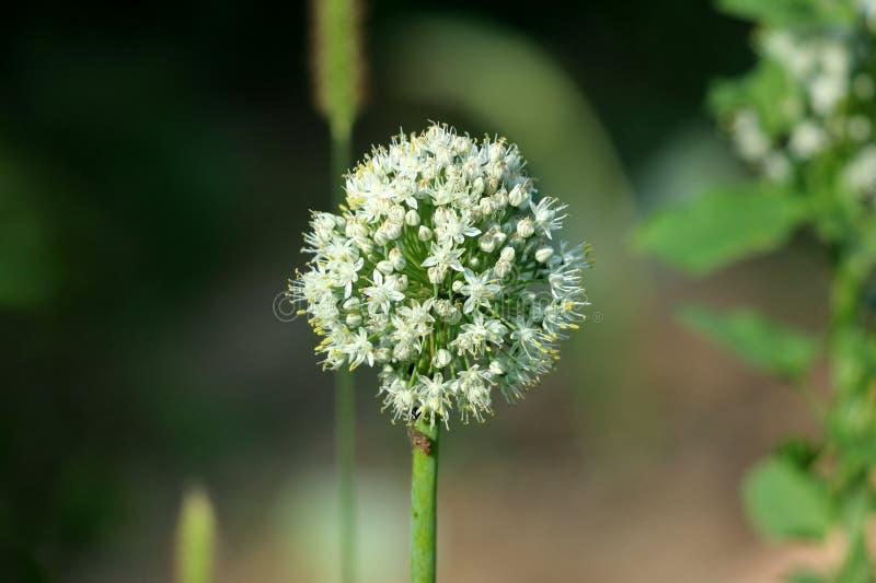 Abra o umbel do crescimento de flores da cebola branca na haste verde grossa foto de stock