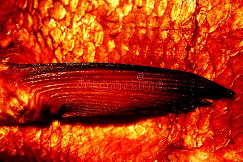 Abramide affumicato - un'aletta immagini stock