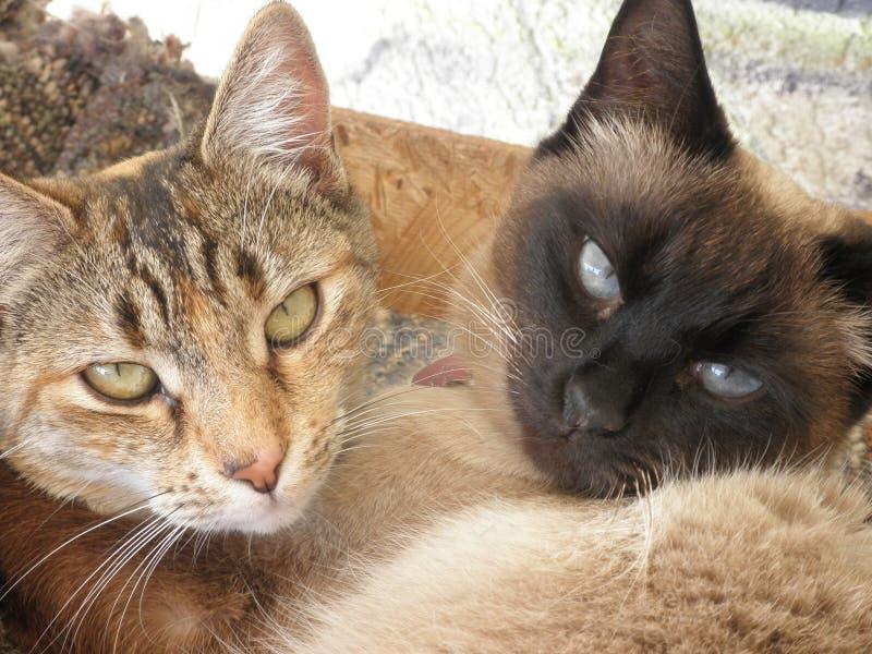 Abrazo del gato siam?s y de la hija imagenes de archivo