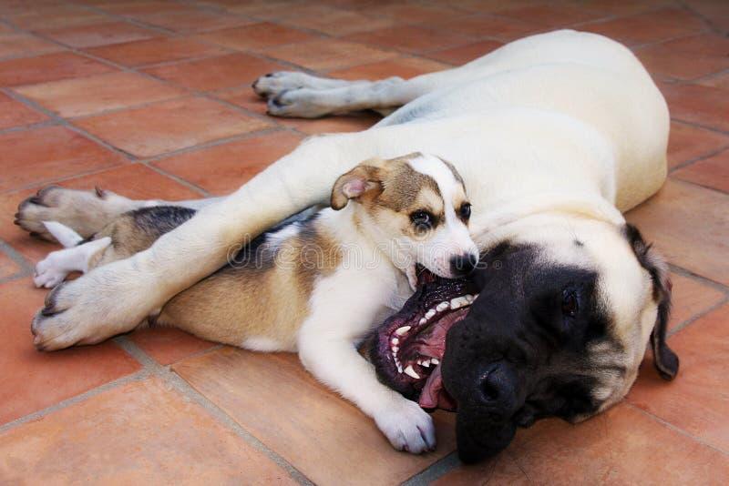 Abrazo grande de los perros de los amigos del perro pequeño que juega amor imagenes de archivo