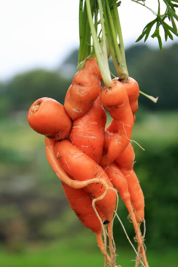 Abrazos de las zanahorias fotografía de archivo libre de regalías