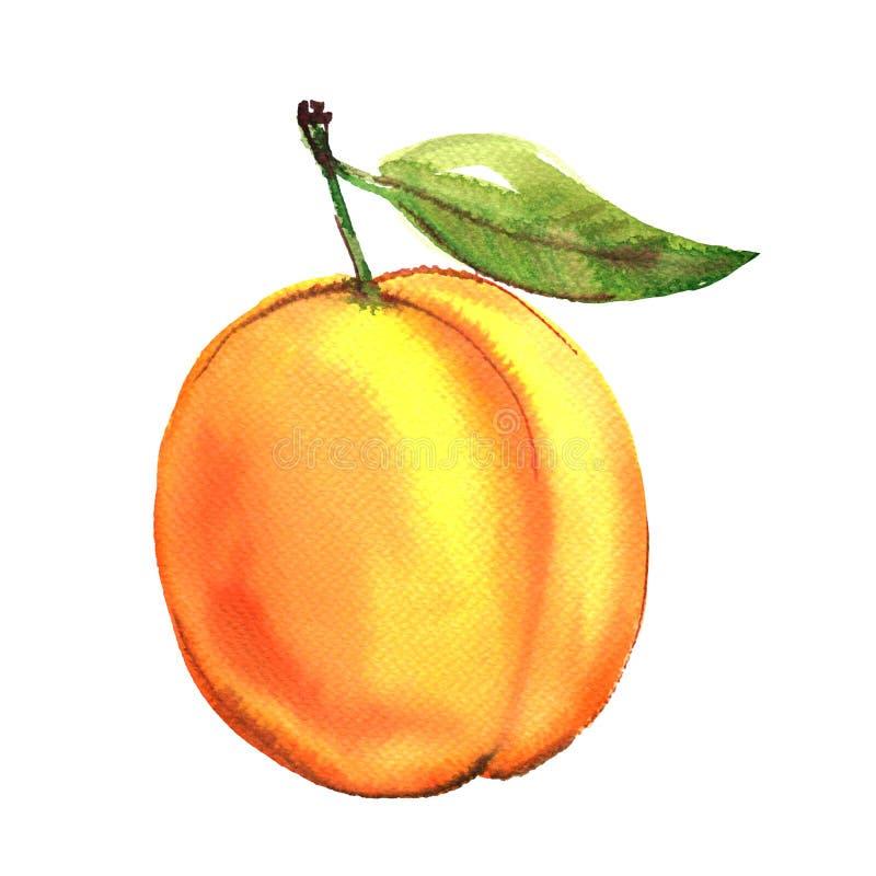 Abricó inteiro maduro com folha verde, fruto amarelo isolado, ilustração da aquarela no branco ilustração royalty free