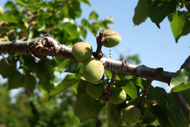 Abricot, armeniaca de Prunus images libres de droits