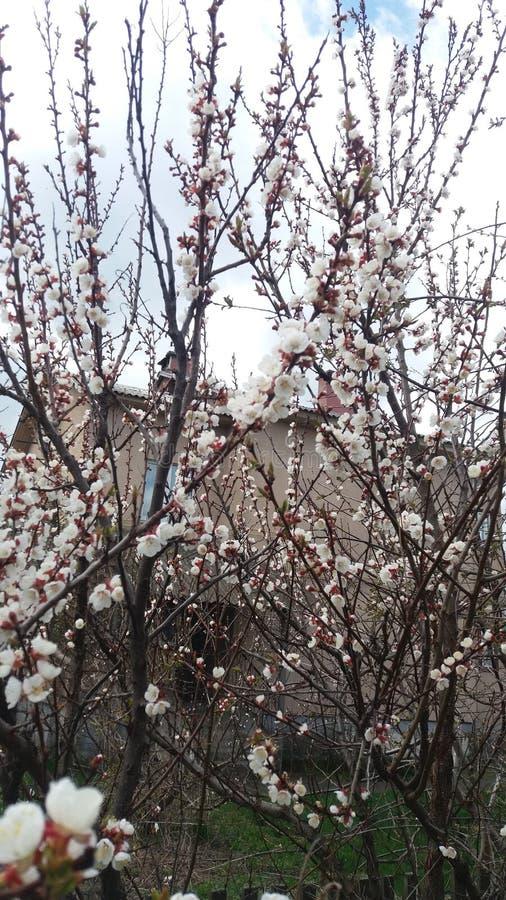 Abricot de floraison photo libre de droits
