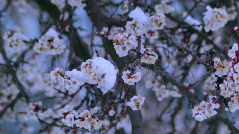 Abricot fleurissant dans la neige en avril banque de vidéos