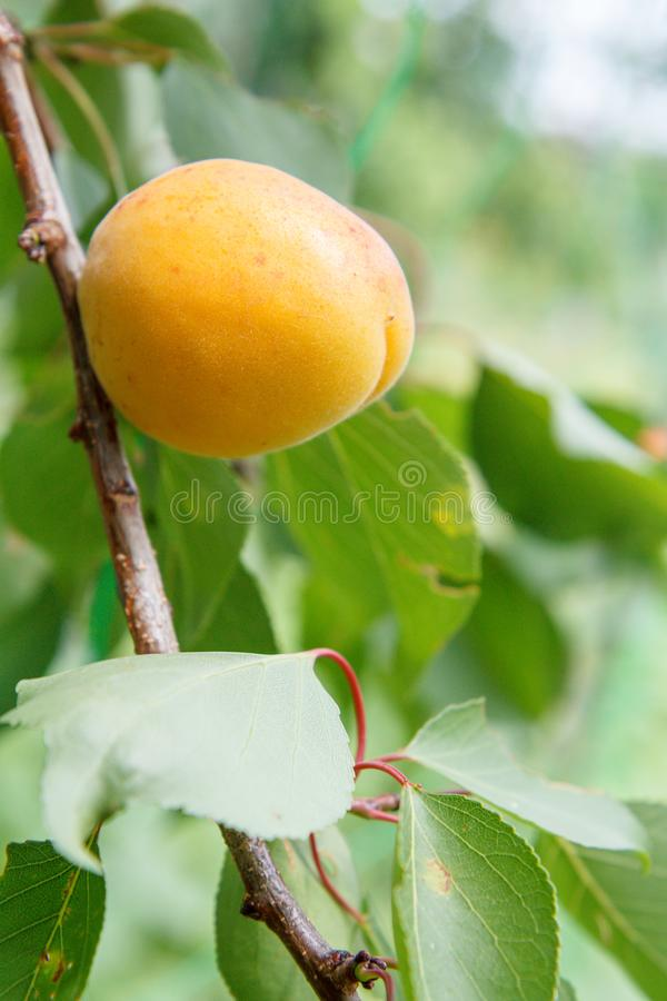 Abricot sur la branche de l'arbre dans le jardin images libres de droits