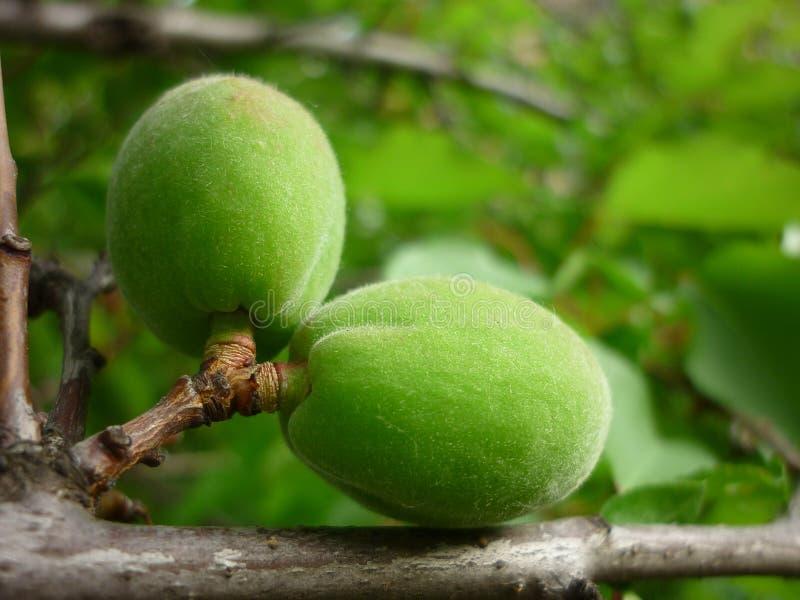 Abricot vert sur une branche photographie stock