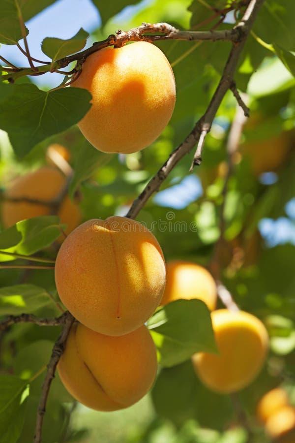Abricotier avec des fruits photos libres de droits