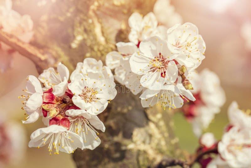Abricotier de floraison image libre de droits