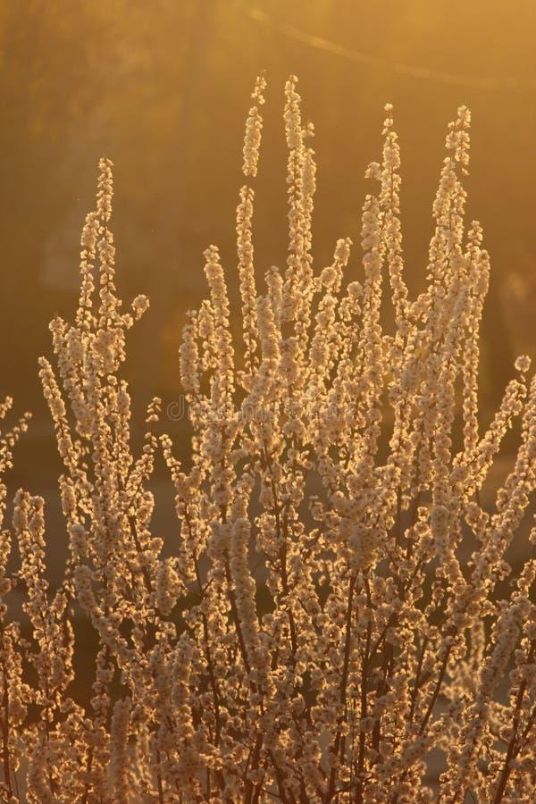Abricots dans la fleur photos libres de droits