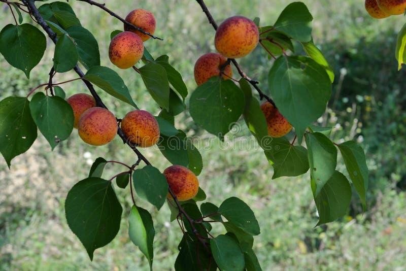 Abricots et feuilles couverts de taches de rousseur photographie stock