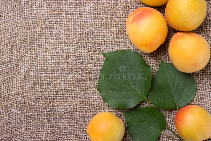 Abricots organiques avec des feuilles sur renvoyer le fond image libre de droits