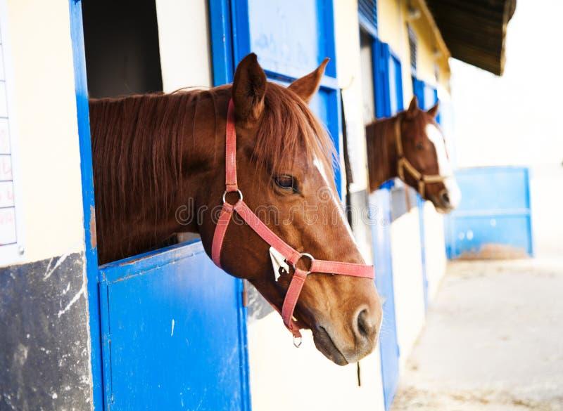 Abrigo do cavalo, celeiro Onde os cavalos são aumentados e mantidos foto de stock