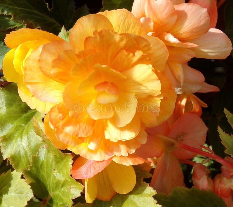 Abrikoos Gele Begonia Close Up royalty-vrije stock fotografie