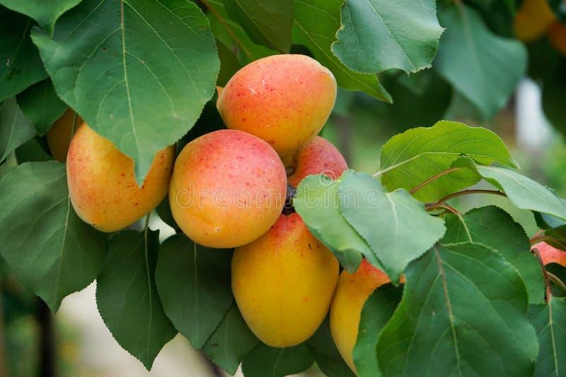 abrikozen stock foto's