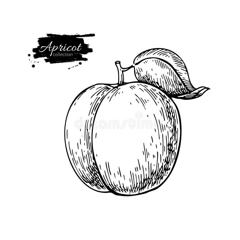 Abrikozen vectortekening Hand getrokken geïsoleerd fruit De zomervoedsel royalty-vrije illustratie