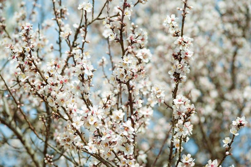 Abrikozenbloemen in de lente, bloemenachtergrond royalty-vrije stock fotografie