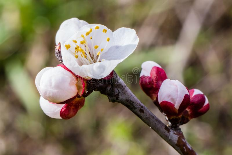 Abrikozenbloemen op tak, prunusarmeniaca, stock foto