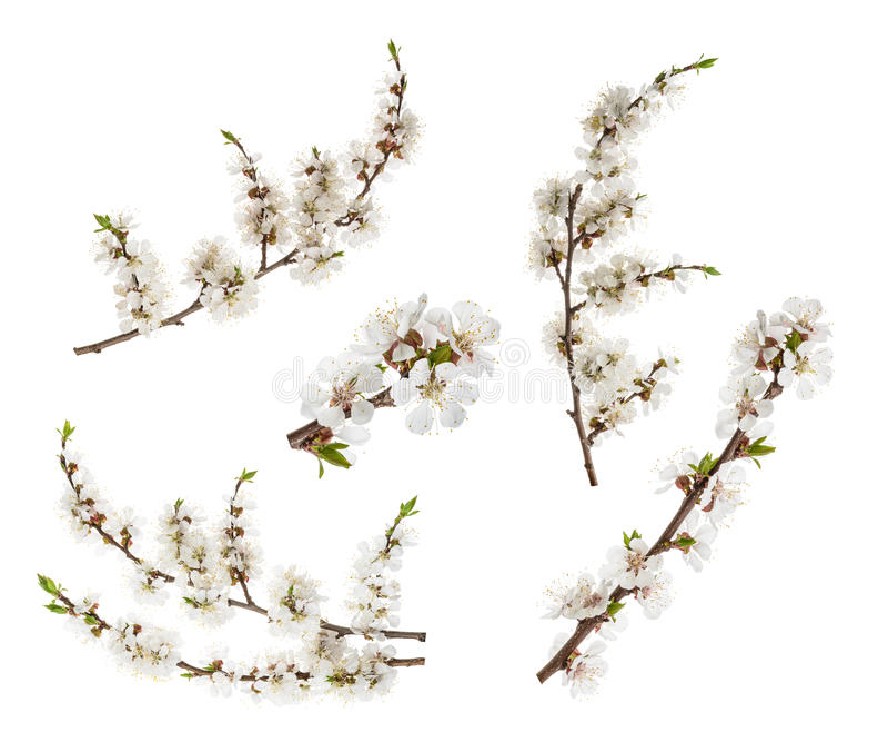 Abrikozenbloemen op wit worden geïsoleerd dat zonder schaduw royalty-vrije stock afbeelding