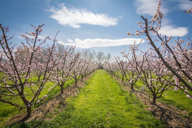 Abrikozenbloesem Verse de lenteachtergrond stock afbeeldingen